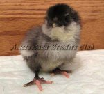 Bantam Blue Chick