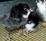 Bantam Brown Red Chick