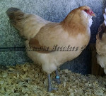 LF Blue Wheaten Hen